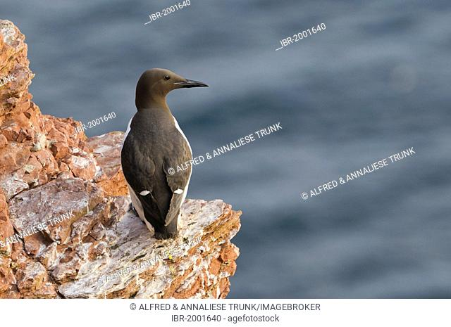 Common Murre or Common Guillemot (Uria aalge), Helgoland, Schleswig-Holstein, Germany, Europe