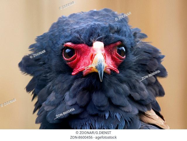 Snake eagles or Tightrope-walker