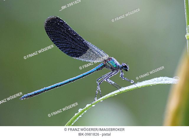 Banded Demoiselle (Calopteryx splendens), male, with dew, Bulgaria