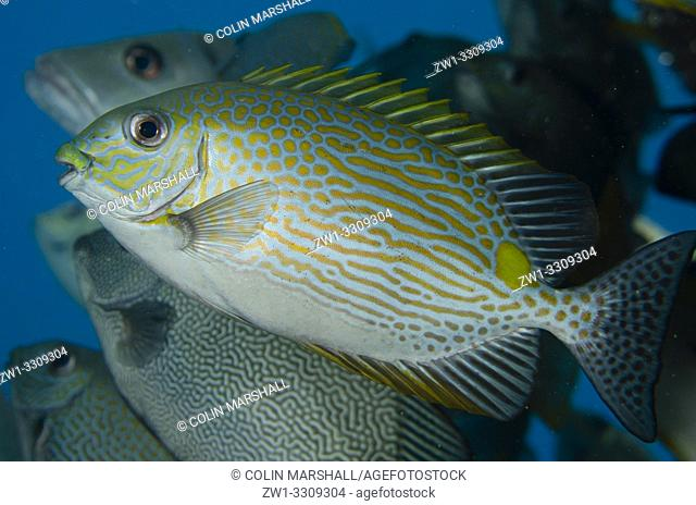 Lined Rabbitfish (Siganus lineatus) with other rabbitfish, Sawanderek Jetty dive site, Mansuar Island, Dampier Straits, Raja Ampat, Indonesia