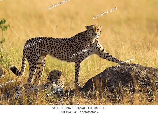 Cheetah (Acinonyx jubatus) mother with young, Maasai Mara National Reserve, Kenya, Africa