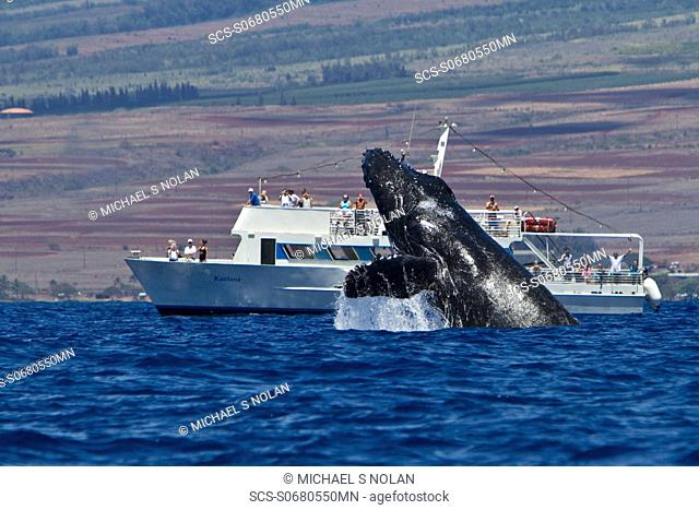 Adult humpback whale Megaptera novaeangliae breaching near commercial whale watching boat in the AuAu Channel between the islands of Maui and Lanai, Hawaii, USA