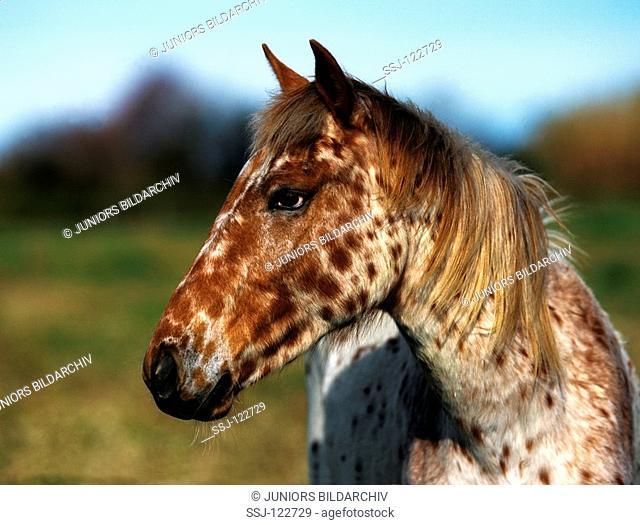 Appaloosa horse - portrait