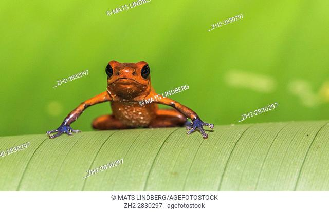 Blue-jeans Frog or Strawberry Poison-dart Frog, Dendrobates pumilio, sitting on a green banan leaf in rainforest at Laguna del Lagarto, Boca Tapada, san Carlos
