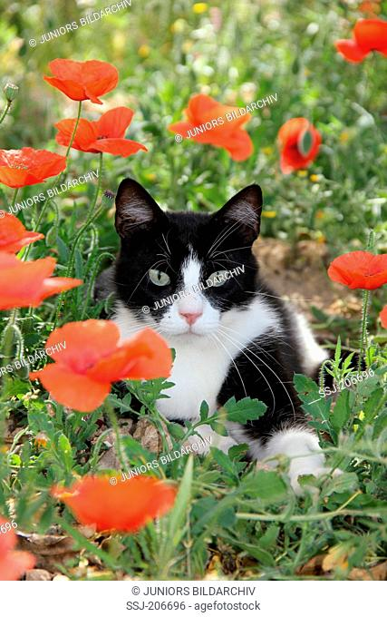 Domestic cat. Black-and-white cat lying in a meadow with Poppy flowers. Spain