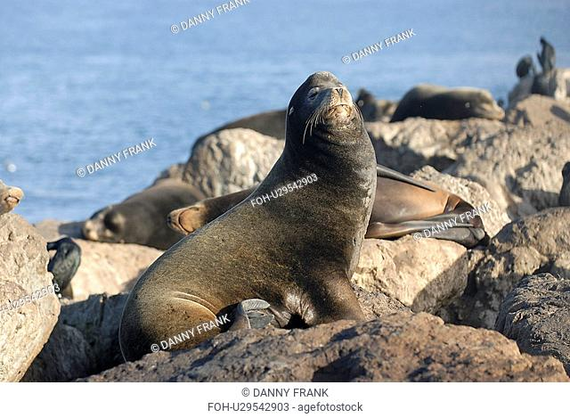 California sea lion Zalophus californianus Large bull, note sagital crest, Monterey Bay, California, USA, Pacific Ocean, National Marine Sanctuary