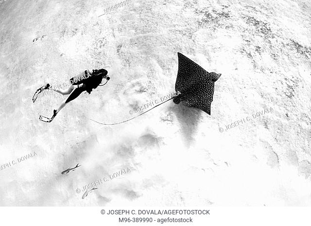 Diver and eagle ray. Cozumel. Mexico