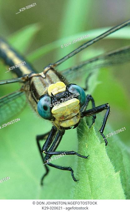 Canada Darner (Aeshna canadensis), dragonfly
