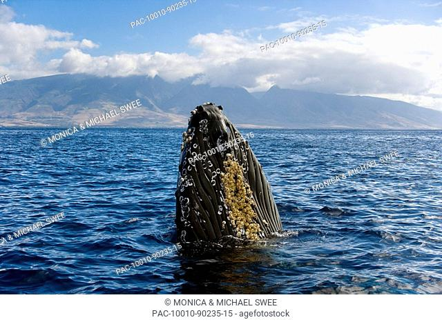 Hawaii, Maui, Humpback Whale Megaptera novaeangliae off coastline, Head above surface