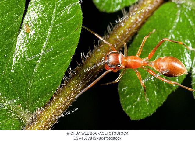 Ant mimic spider found at Kampung Skudup, Sarawak, Borneo