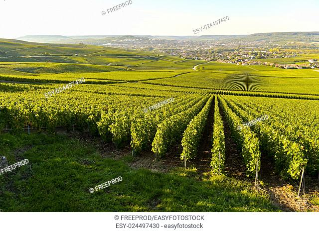 Champagne vineyards in Marne department, Champagne-Ardennes, France, Europe