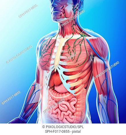 Illustration of male anatomy