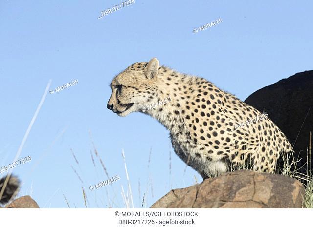 Afrique du Sud, Réserve privée, Guépard (Acinonyx jubatus), se deplaçant / South Africa, Private reserve, Cheetah (Acinonyx jubatus), walking