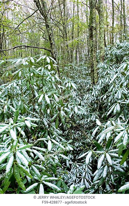 Light Snow on Early Spring Foliage, Foothills Parkway, Tennessee