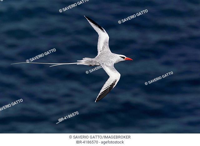 Red-billed Tropicbird (Phaethon aethereus), adult flying over the sea, Santiago, Cape Verde
