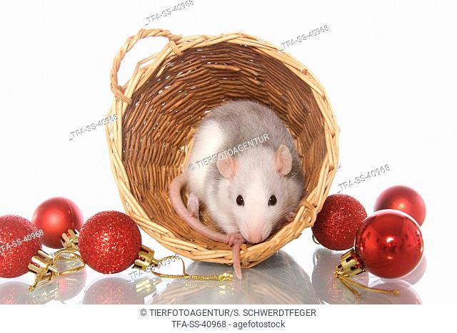 rat at christmas