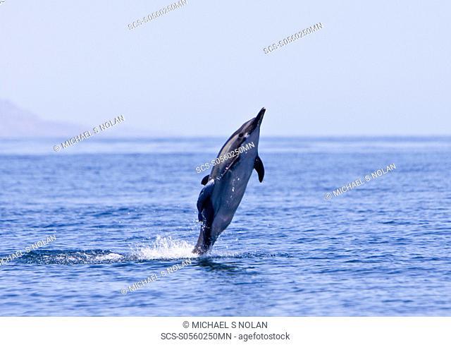 Long-beaked Common Dolphin pod Delphinus capensis encountered off Isla Danzante in the southern Gulf of California Sea of Cortez, Baja California Sur, Mexico
