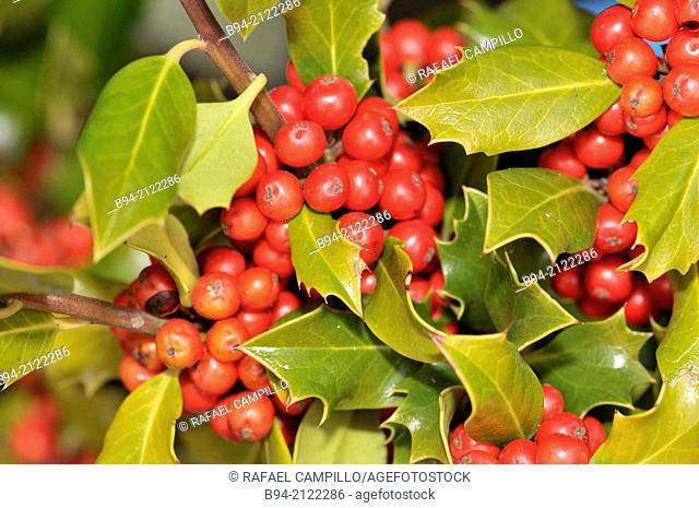 Fruits and leaves of Holly. Ilex aquifolium L. Fam. Aquifoliaceae. Santa Llúcia Christmas market. Barcelona. Catalonia. Spain