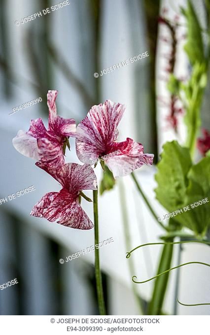 A close-up of a sweet pea flower in front of a white picket fence in a garden