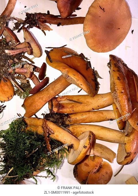 Wild Lacrarius Mushroom