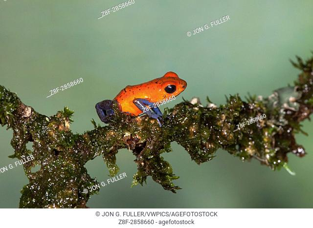 Strawberry or Blue Jeans Poison Dart Frog, Oophagia pumilio, formerly Dendrobates pumilio, is a tiny poison frog in the rainforests of Costa Rica
