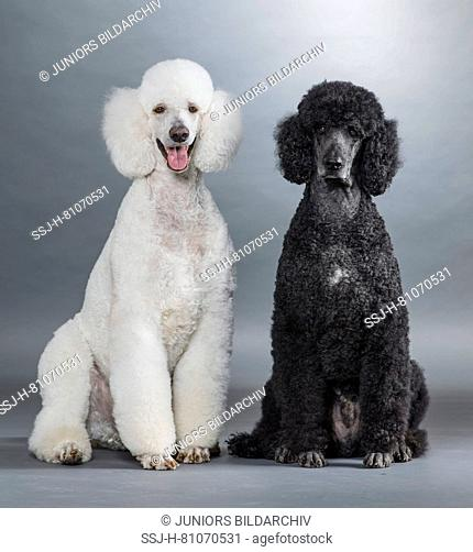 Black and White Poodle, Stock Photo, Picture And Rights