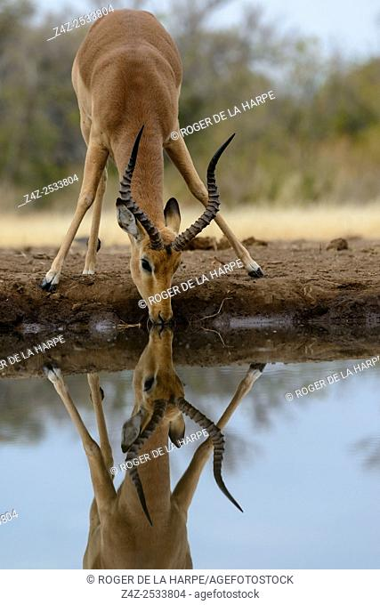 Impala (Aepyceros melampus) male drinking. Mashatu Game Reserve. Northern Tuli Game Reserve. Botswana