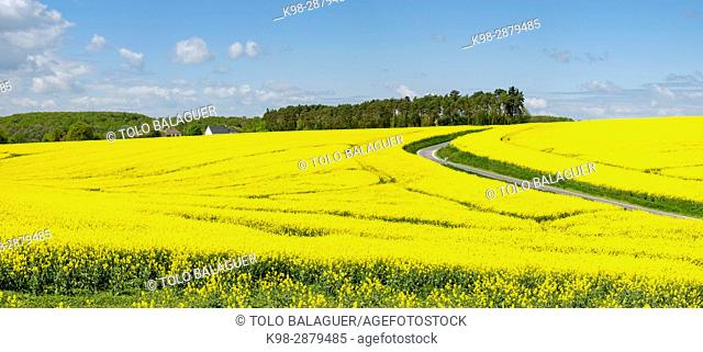 Rape fields in spring, Montrésor, Indre-et-Loire, France