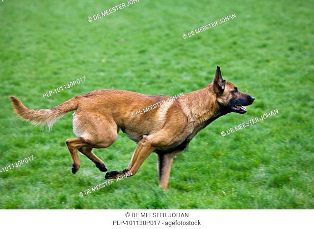 Belgian Shepherd Dog / Malinois Canis lupus familiaris running in field, Belgium