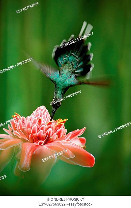 Beautiful hummingbird, acrobatic fly with pink flower. Hummingbird
