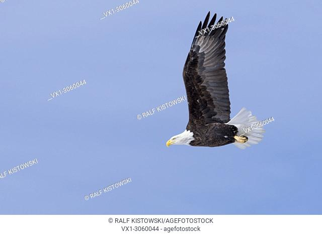 Bald Eagle ( Haliaeetus leucocephalus ), in flight, against blue sky, stretched wings, deatiled side view, Yellowstone area, Montana, USA, wildlife, Europe