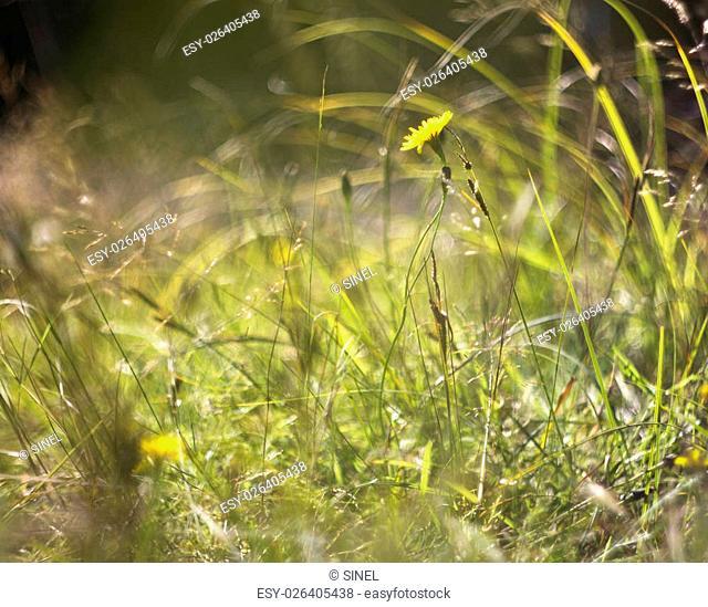 yellow dandelion flower on background of green grass