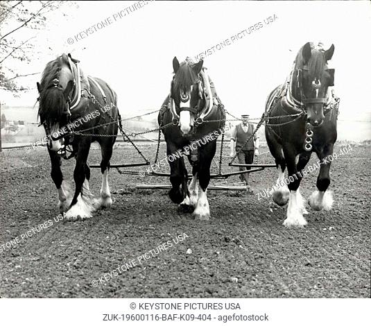 1968 - Horses back on the Farm; The demand for English Shires is booming, especially if they have black bodies and white feet