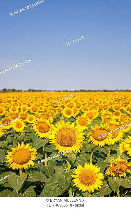 Filed full of sunflowers with blue sky