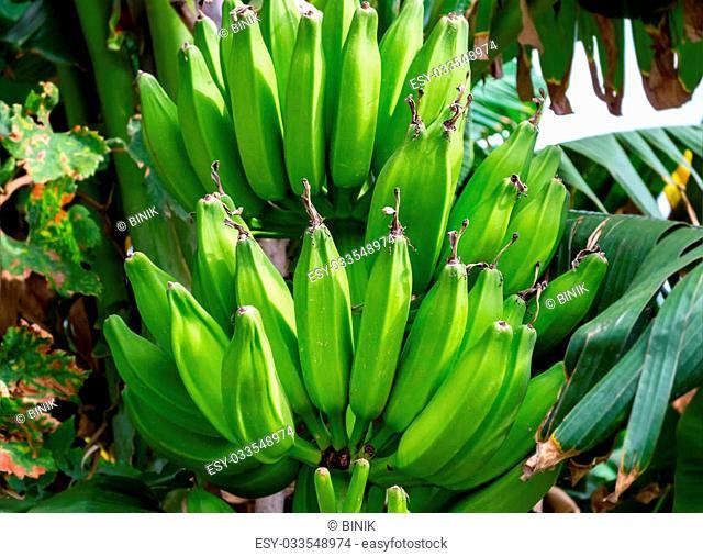 Banana bunch growing on tree. Selective focus