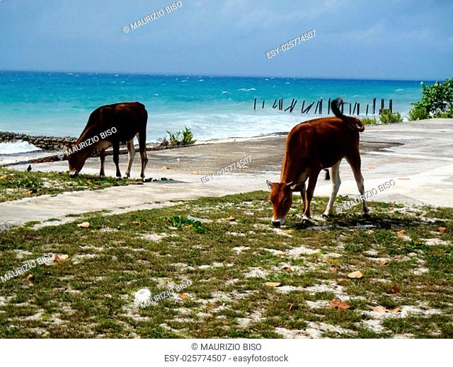 cows in front of the sea