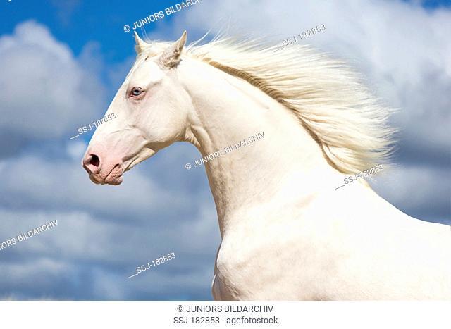 Oldenburg Horse. Portrait of cremello stallion. New Zealand