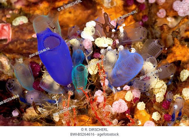 Colorful Colony of Sea Squirts, Rhopalaea, Indonesia, Bali, Alam Batu