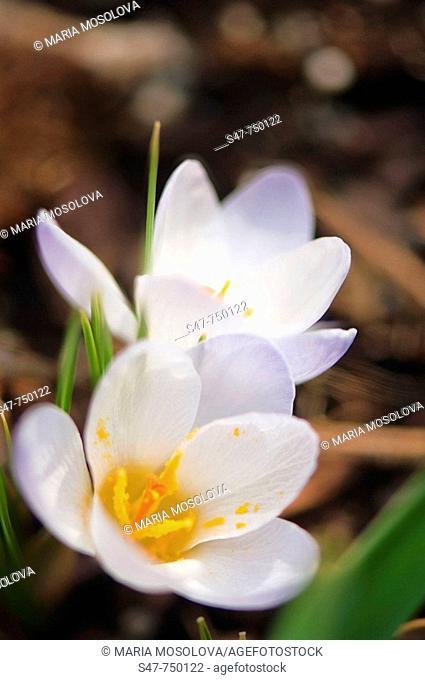 White Crocuses in Bloom. Crocus biflorus 'Purity'. March 2007, Maryland, USA