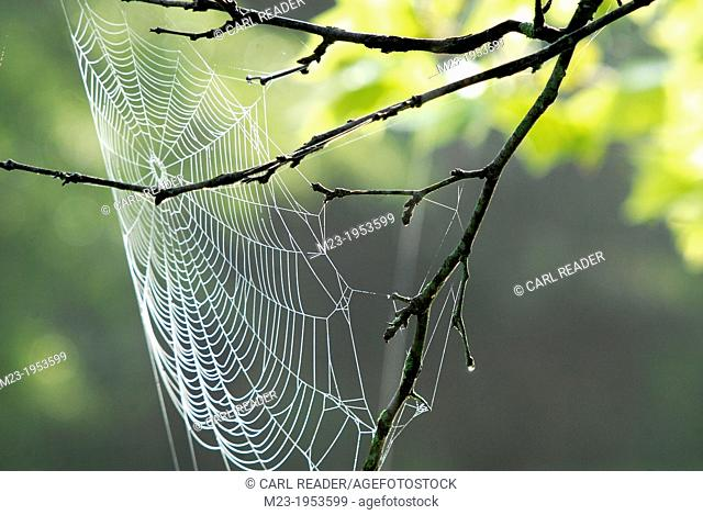 A wet spider web catches the wind like a sail on a spring morning, Pennsylvania, USA