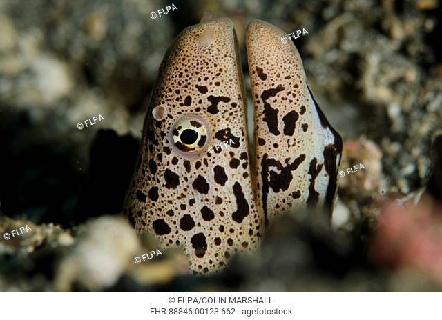 Banded Mud Moray Eel (Gymnothorax chlamydatus), in hole on black sand, Night dive, Kareko Point dive site, Lembeh Straits, Sulawesi, Indonesia