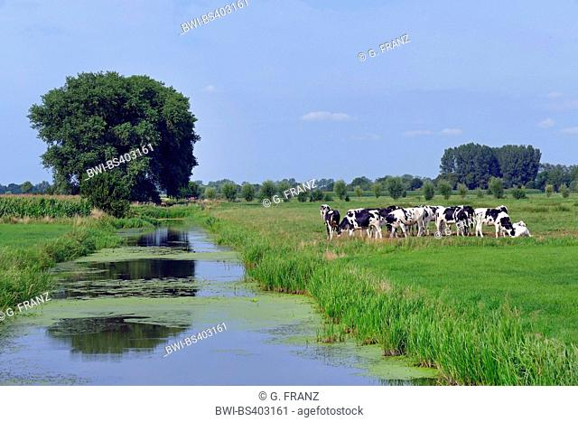 domestic cattle (Bos primigenius f. taurus), cows on a pasture near a drainage ditch, Germany, Lower Saxony, Neuenkirchen