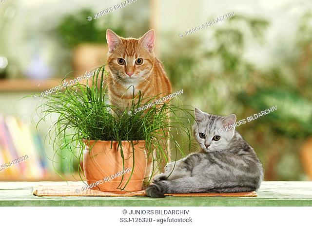 British Shorthair cat and domestic cat next to cats' grass restrictions:Tierratgeber-Bücher / animal guidebooks