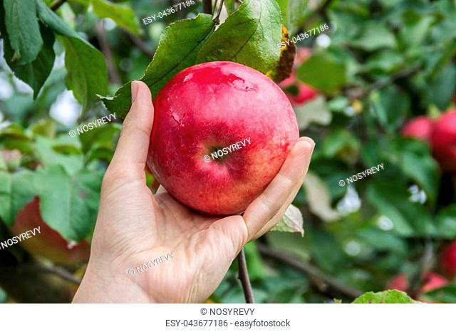 girl picks red ripe apple from apple tree