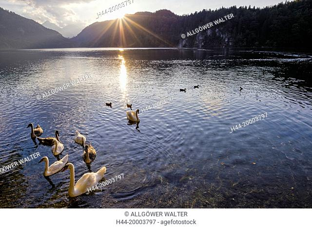 Swans on the Alpsee lake in Bavaria