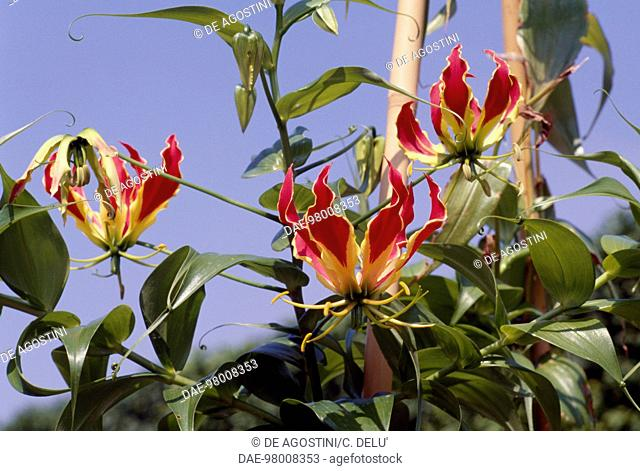 Flame lily, Glory lily or Climbing lily (Gloriosa rothschildiana or Gloriosa superba), Colchicaceae
