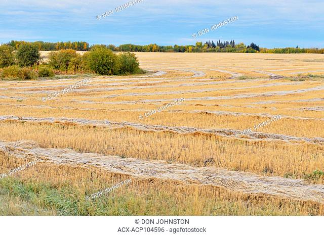Rows of mown wheat with frost, Waskatenau, Alberta, Canada