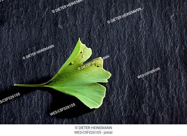 Ginko leaf, Ginkgo biloba, on slate