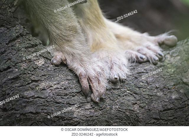 Hands of Rhesus Monkey (Macaca mulatta). Keoladeo National Park. Bharatpur. Rajasthan. India