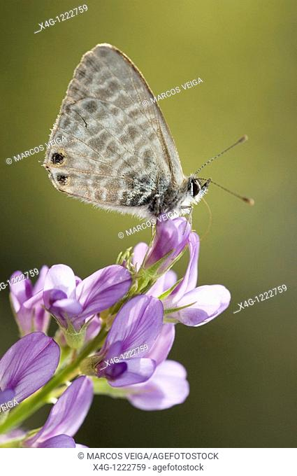 Lang's Short-tailed Blue butterfly Leptotes pirithous on Alfalfa flower Medicago sativa